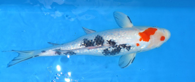 SPS, Simple Pond Solutions - Koi Carp for Sale